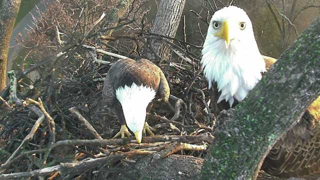 """""""Mr. President"""" and """"The First Lady"""" have laid two eggs. (2016 American Eagle Foundation, EAGLES.ORG)"""