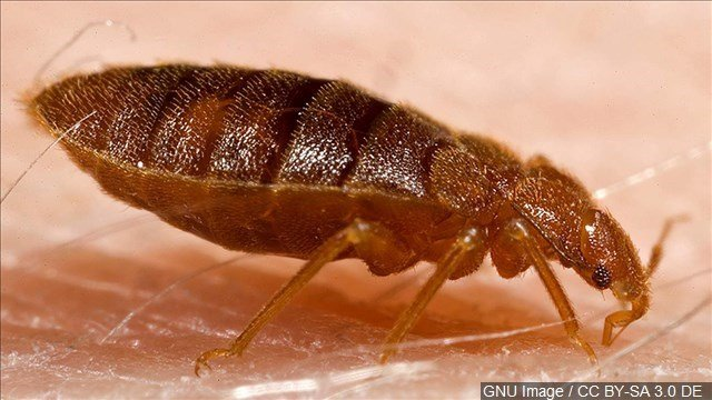 A bed bug like this one was found in a Middletown elementary school. (MGN photo)