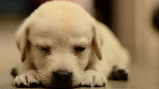 A Labrador retriever puppy. (Wikicommons photo)