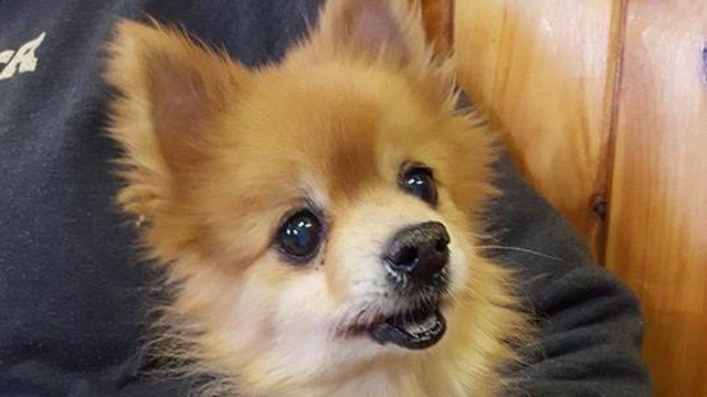 """Foxy"" was found in bad shape on the Terryville/Wolcott line. (Wolcott Dog Pound Facebook photo)"