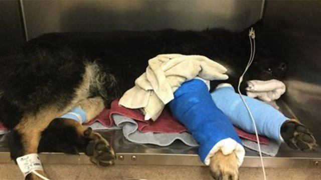 This animal is recovering at Hebron Veterinary Hospital, but they are looking for its owner. (Hebron Veterinary Hospital)