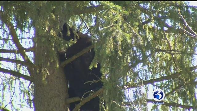 A Black Bear scaled a large tree in West Hartford on Sunday. (WFSB)
