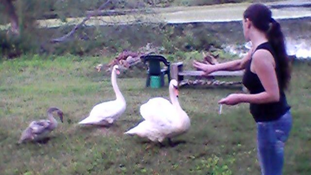 An eyewitness took photos of the swan that was put down.