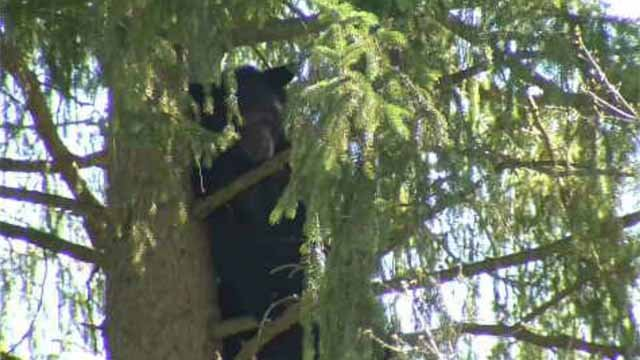 In the last 12 months, there have been 4,600 bear sightings across the state (WFSB)
