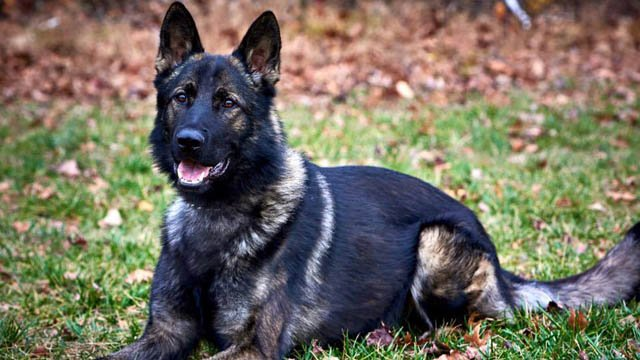 West Haven police K9 Cody will be getting a protective vest thanks to a donation. (West Haven police photo)