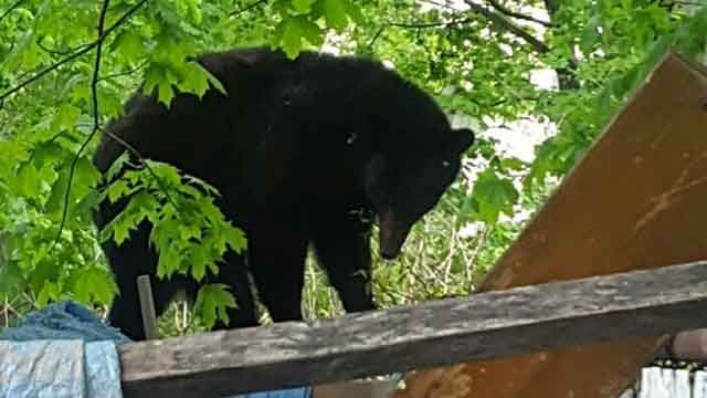 Bear spotted on Wallace Street in New Haven (iwitness)