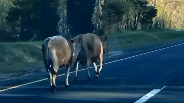 Cows were spotted on Route 9 north in Haddam Wednesday morning. (Susan/iWitness photo)