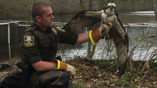 A Connecticut State Environmental Conservation Police officers saved an osprey aka Pandion haliaetus, that got caught in a research station on Tuesday.  (Connecticut State Environmental Conservation Police)
