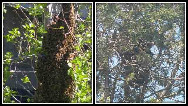 Swarms of bees are being seen across Connecticut (iwitness photos)