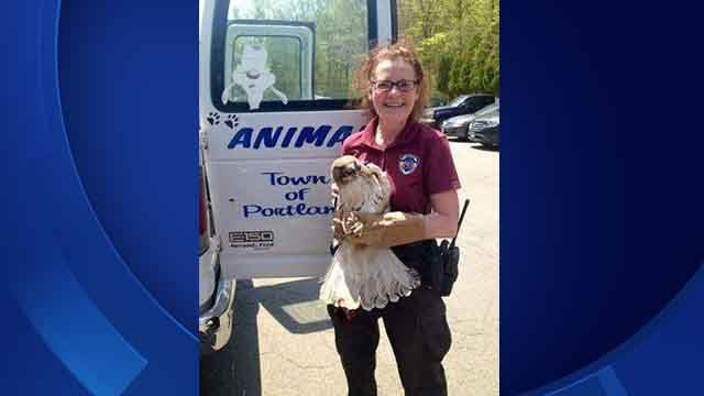 Portland Animal Control Officer Karen Perruccio rescued a Red-tailed Hawk on Thursday that was caught in golf range netting. (iwitness)