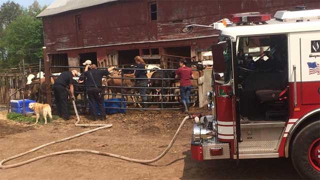Fire crews provided 1,500 gallons of water to the cows on Friday (Hazardville Fire Department)