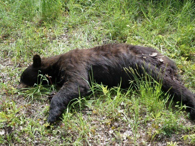 A black bear was found dead at the Roxbury Land Trust property. (Photo courtesy of CT EnCon Police)