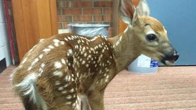 Suffield police said a fawn was brought to their department. (Suffield police photo)