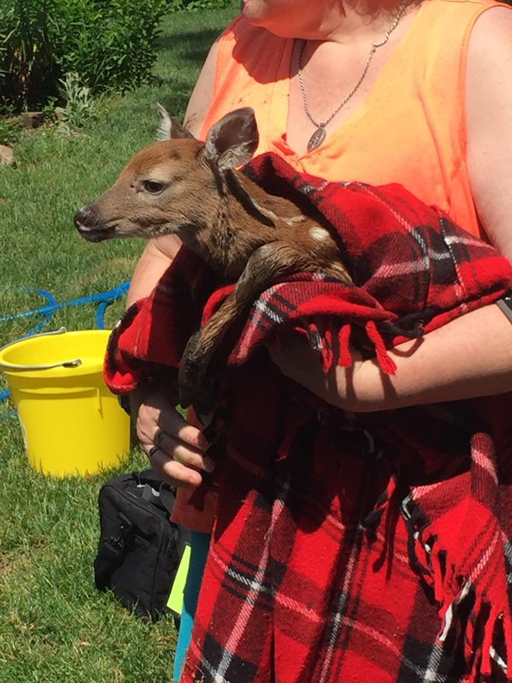 A young fawn who was pulled by rescuers from a storm drain in Durham.  (Durham Animal Rescue Team Facebook page)
