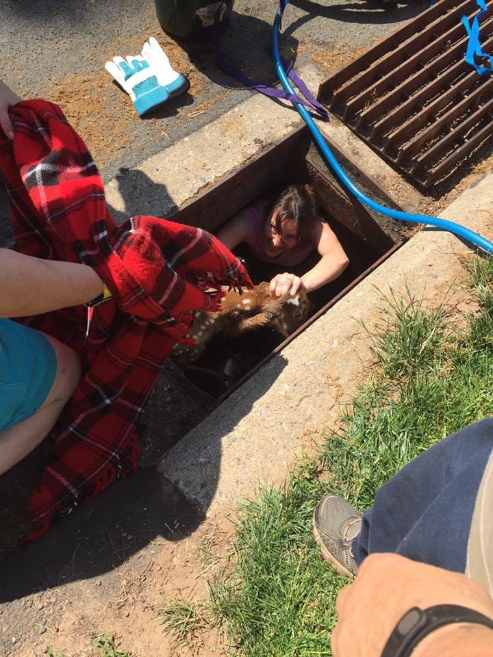 Crews handing out the fawn from the storm drain. (Durham Animal Rescue Team Facebook page).