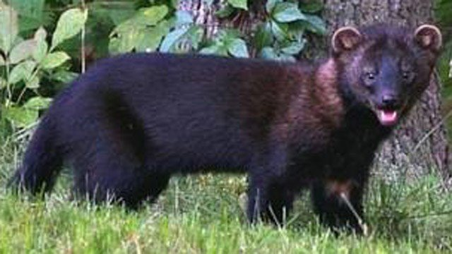 West Haven residents concerned over fisher cats - WFSB 3 Connecticut