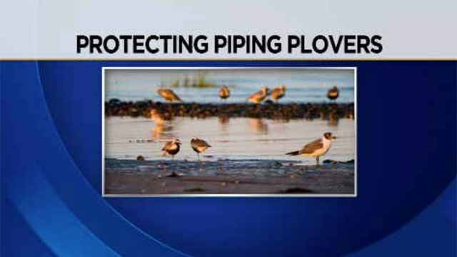 Piping Plovers are being threatened in Connecticut (WFSB)