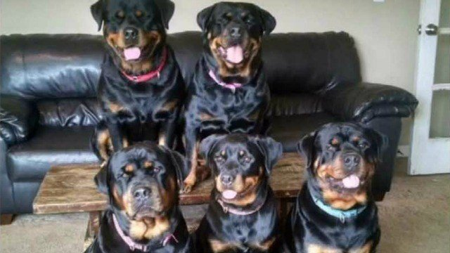 Two rottweilers involved in a serious mauling were euthanized Friday afternoon. (WFSB)