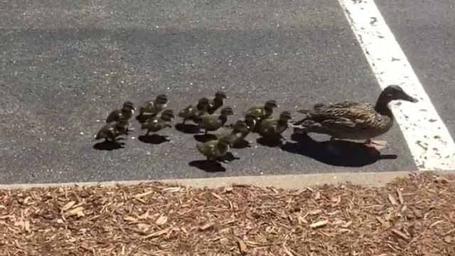 Trooper, Enfield police rescue ducks from storm drain (CT State Police)