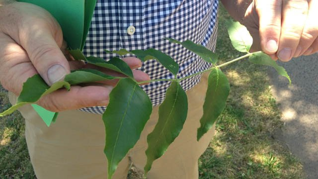The Emerald Ash Borer are eating dozens of ash trees. (WFSB)