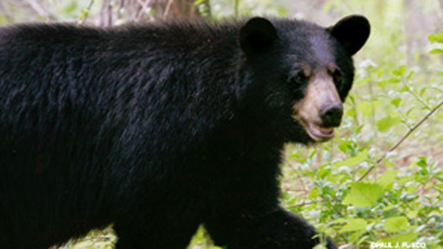 Officials issue warning after a woman in Canton was nipped by a bear. (DEEP)