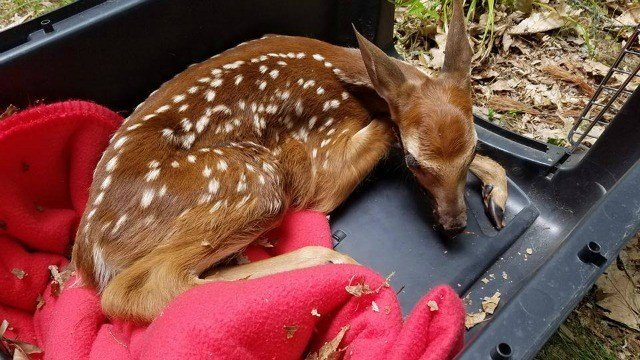 This fawn was saved by authorities after it was attacked by a dog. (Guilford Police Animal Shelter)