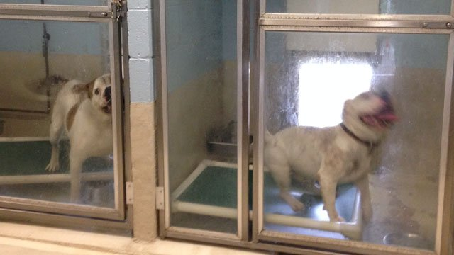 New Haven police said the two dogs responsible for the deadly attack would be euthanized next week. (WFSB photo)