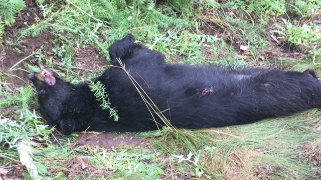 A bear was killed after being struck by a vehicle on I-84 in New Britain area. (CT State Police)