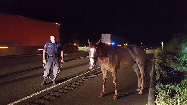 A horse was found wandering down I-91 in Cromwell Thursday morning. (State police photo)