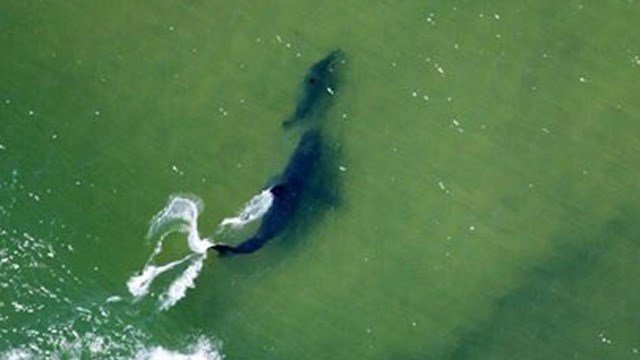 This photo from the Atlantic White Shark Conservancy shows a great white shark pursuing a seal off the coast of Cape Cod. (@A_WhiteShark photo)