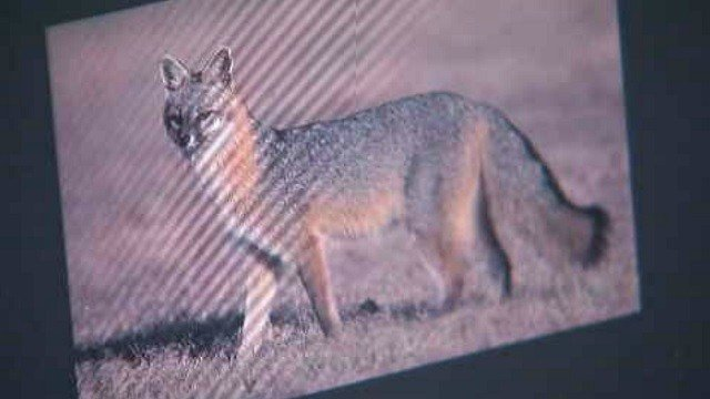 Residents are being warned after a woman and her cat were attacked by a fox. (Vernon Animal Control)