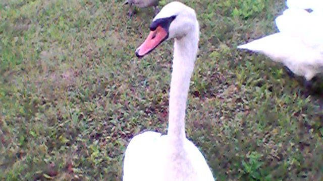 DEEP officials had to euthanize a swan in Danielson earlier this year after multiple reported attacks on people. (iwitness)