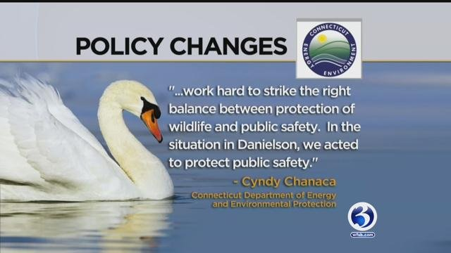 DEEP made policy changes after the incidents with swans in Danielson. (WFSB)
