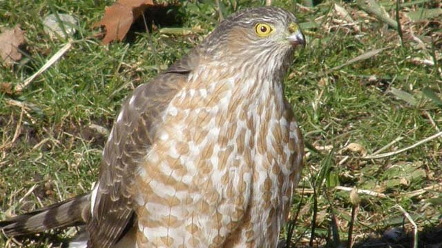 An adult Cooper's hawk. (Wikicommons photo)