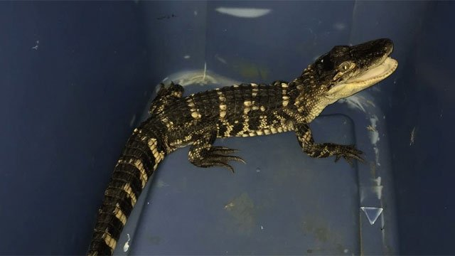 This American Alligator was seized from New Hartford home. (DEEP)