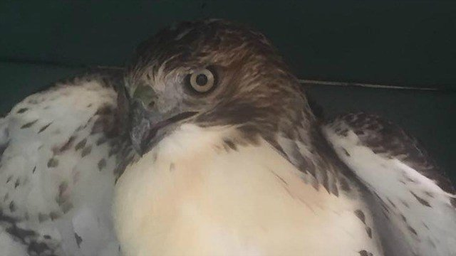 A hawk was rescued by Rocky Hill police Saturday. (Rocky Hill PD)