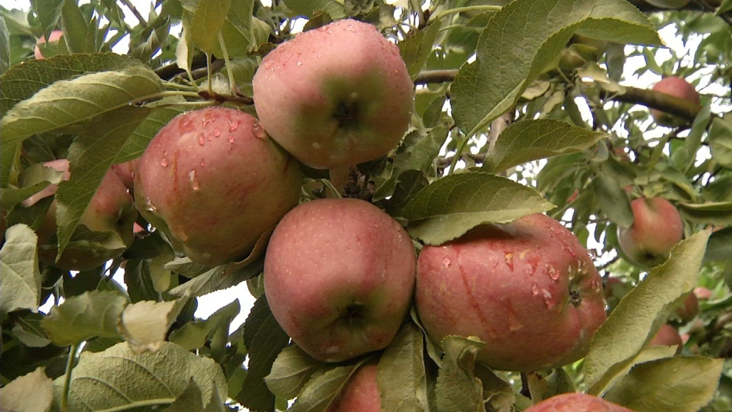 Smaller apples in this year's crop are being blamed on the weather. (WFSB photo)