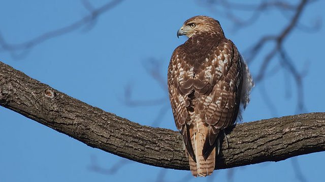 A red-tail hawk. (Wikicommons photo)