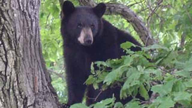 The state Department of Energy and Environmental Protection is warning about a surge in bear sightings in Connecticut. (DEEP photo)
