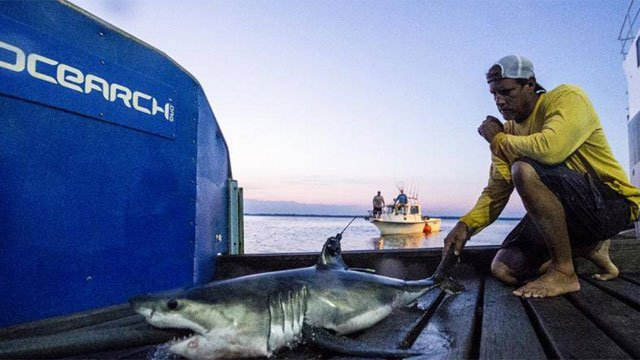 A Great White Shark was spotted off the coast of Guilford. ((Photo by OCEARCH))