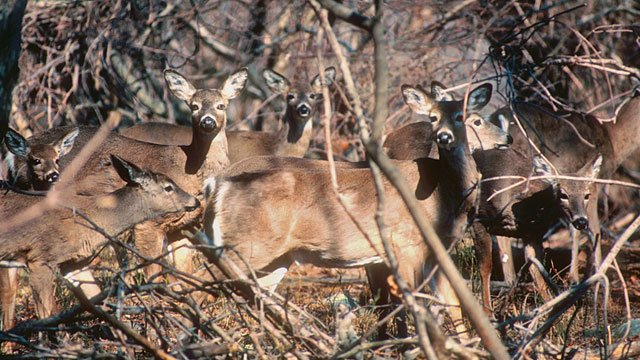 DEEP took this photo of a white-tailed deer herd. (Photo Credit: Paul J. Fusco / CT DEEP-Wildlife)