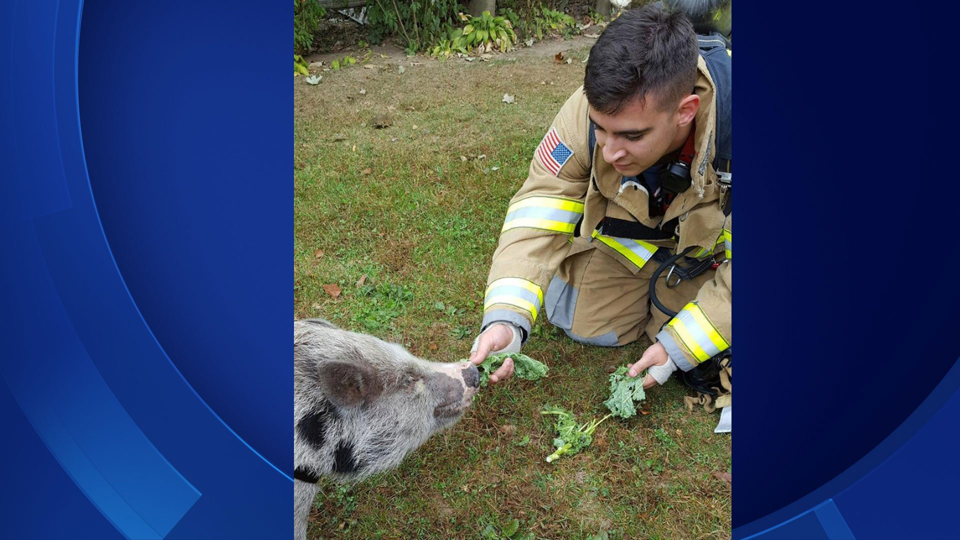 Firefighters befriend a pig during a CO call. (Trumbull Volunteer Fire Company Facebook/WFSB)