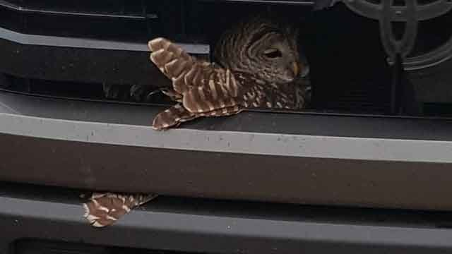 This owl was rescued by Groton Animal Control. (Steve Martin)