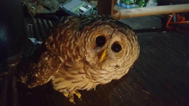 An off-duty Colchester officer saved an injured owl Monday.  (Colchester Police)