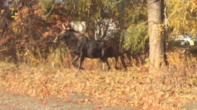 State police helped corral a moose in East Granby Monday morning. (State police photo)