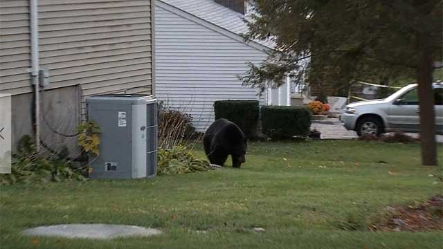 This bear was spotted on Halloween night in Plainville (WFSB)