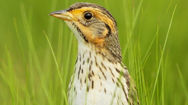 Salt Marsh Sparrow. (Paul J. Fusco/CT Audobon Society photo)