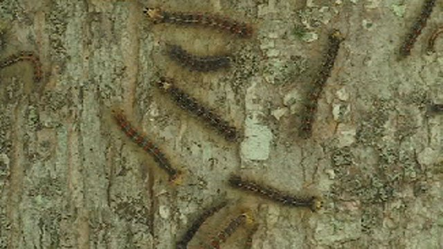 The invasive insects that defoliate trees are expected to emerge in Rhode Island this week, not long after having been spotted in Massachusetts. (Western Mass News photo)