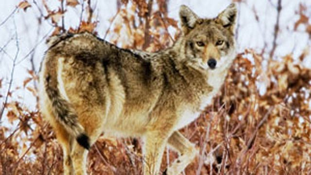 Harwinton residents are being warned about a coyote attack. (CT DEEP photo)