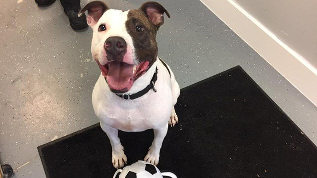 Domino the pit bull mix. (Wallingford Animal Control Facebook photo)